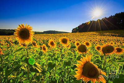 Sunflower Field Sunset 2  Poster