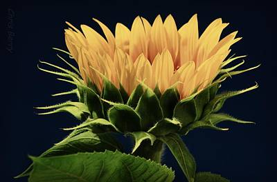 Poster featuring the photograph Sunflower Foliage And Petals by Chris Berry