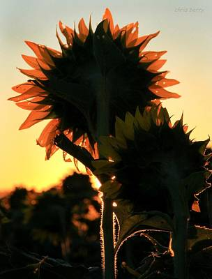 Poster featuring the photograph Sunflower Greeting  by Chris Berry