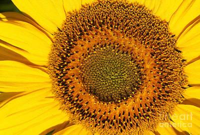 Sunflower Helianthus Poster
