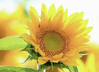 Sunflower In Golden Glow Poster