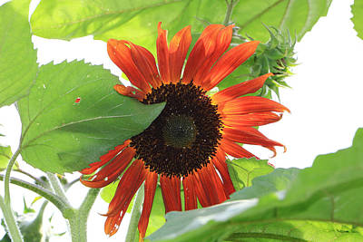 Poster featuring the photograph Sunflower In The Afternoon by Rick Morgan