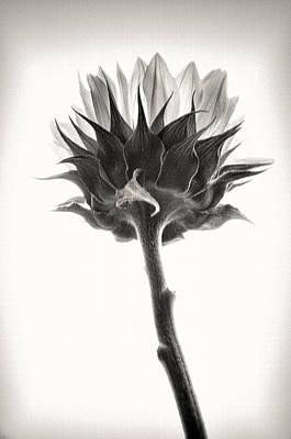 Poster featuring the photograph Sunflower by John Hansen