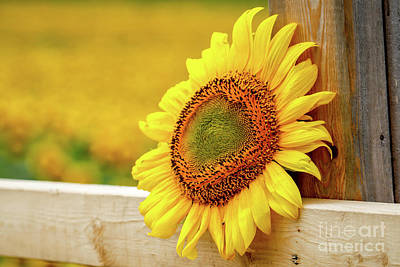 Sunflower On The Fence Poster