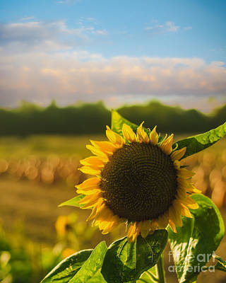 Sunflower Patch Poster by Alissa Beth Photography