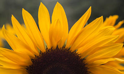 Sunflower Petals Poster by Arlene Carmel