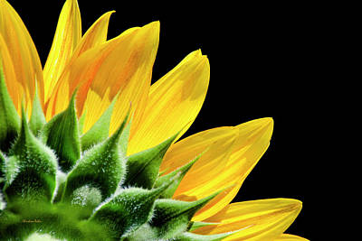 Poster featuring the photograph Sunflower Petals by Christina Rollo
