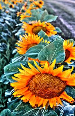 Sunflower Row Poster