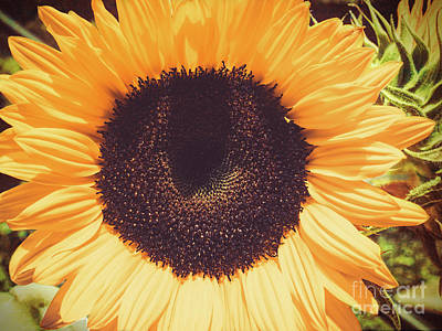 Sunflower Poster by Scott and Dixie Wiley