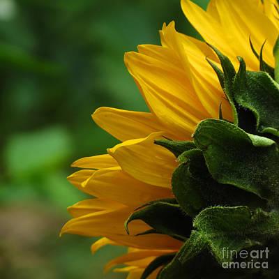 Sunflower Series I Poster