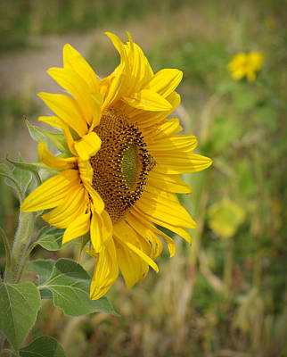 Sunflower Show Off Poster by Linda Mishler