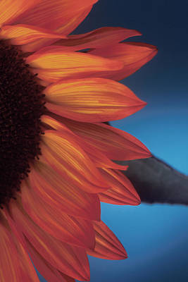 Sunflower Study Poster