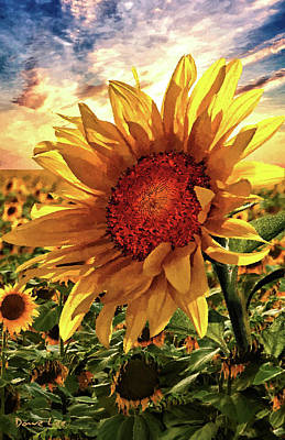 Sunflower Sunrise Poster by Dave Lee