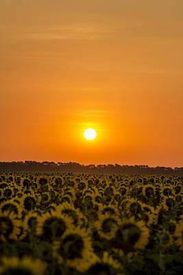 Sunflower Sunrise Labor Day  Poster by Chris Harris