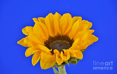Sunflower Sunshine 406-6 Poster by Ray Shrewsberry