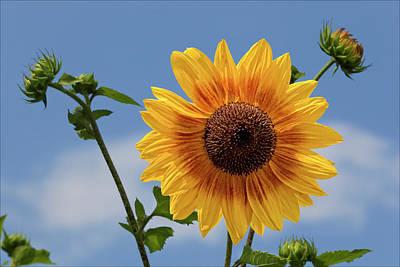 Sunflower Surprise Poster by Robert Ullmann