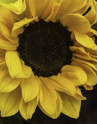 Sunflower Up Close Poster