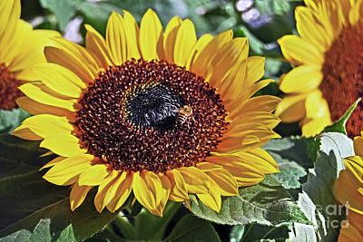 Sunflowers And Honeybee Poster by Carlos Alkmin