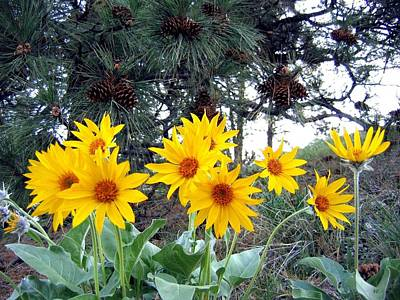 Sunflowers And Pine Cones Poster by Will Borden