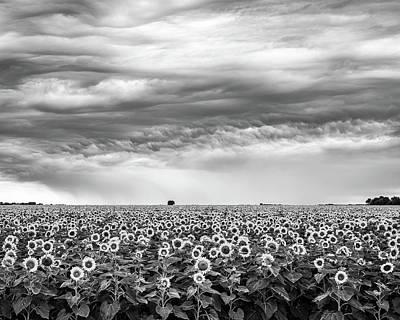 Sunflowers And Rain Showers Poster