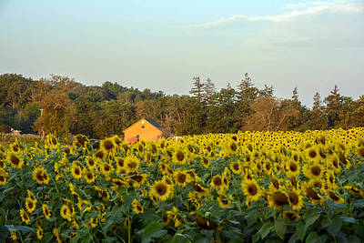 Sunflowers At Colby Farmstand Poster by Nicole Freedman