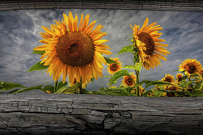 Sunflowers Blooming In A Field Seen Between Fence Rails Poster
