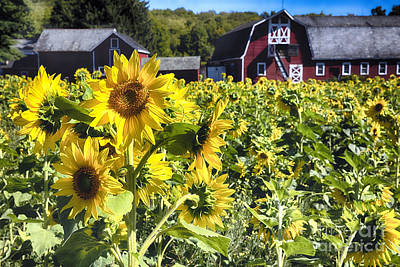 Sunflowers Field With A  Red Barn Poster