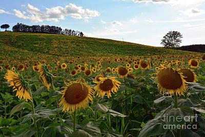 Sunflowers Fields  Poster