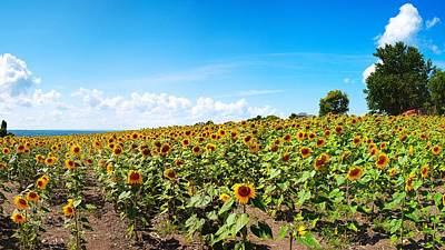 Poster featuring the photograph Sunflowers In Ithaca New York by Paul Ge