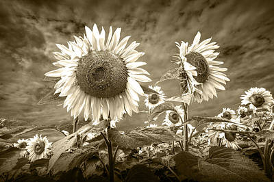 Sunflowers In Sepia Blooming In A Field Poster by Randall Nyhof