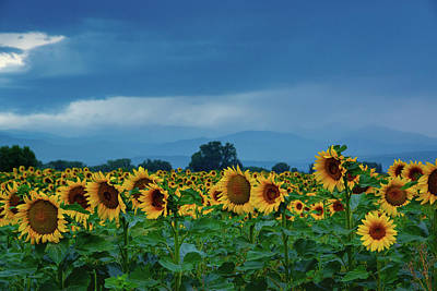 Sunflowers Under A Stormy Sky Poster