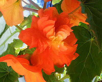 Sunkissed Orange Begonias Poster