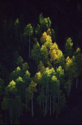Sunlight Highlights Aspen Trees Poster by Melissa Farlow