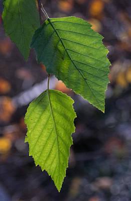 Sunlight Through Birch Leaf Branch Poster