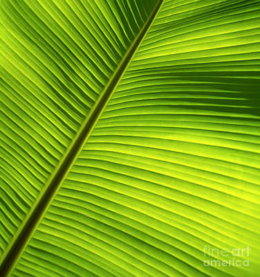 Sunlit Banana Leaf Poster by Carl Shaneff - Printscapes