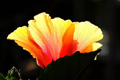 Poster featuring the photograph Sunlit Hibiscus by Diane Merkle