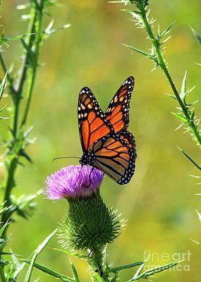 Sunlit Monarch  Poster