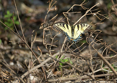 Sunning Swallowtail Poster