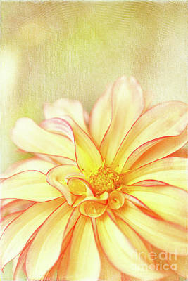 Sunny Dahlia Poster by Beve Brown-Clark Photography