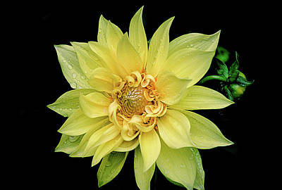 Poster featuring the photograph Sunny Dahlia by Julie Palencia