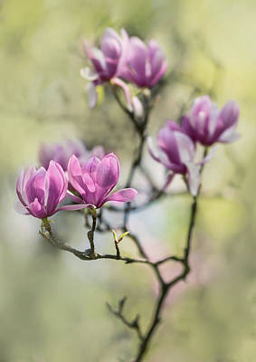 Sunny Impression With Pink Magnolias Poster