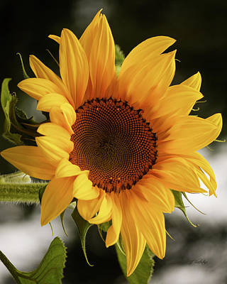 Poster featuring the photograph Sunny Sunflower by Jordan Blackstone