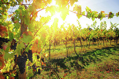 Sunny Vineyard Poster by Carlos Caetano