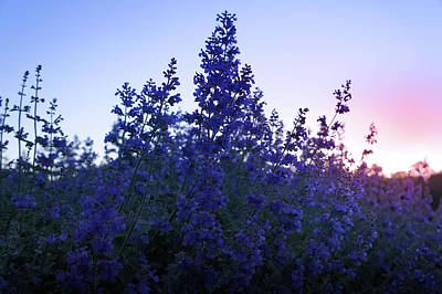 Sunrise Over Beautiful Lavender Field Poster by Art Spectrum