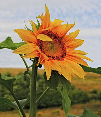 Sunrise Sunflower Poster by Kathleen Sartoris