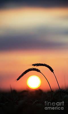 Sunrise Wheat Poster