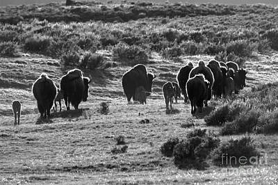 Sunset Bison Stroll Black And White Poster by Adam Jewell