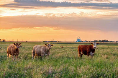Sunset Cattle Poster