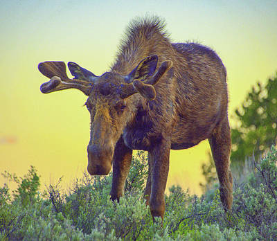 Sunset Moose Poster by Jerry Cahill