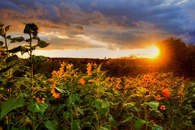 Sunset Over A Field Of Sunflowers Poster by Joann Vitali